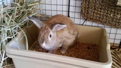 ¿Cómo acostumbrar un conejo a la caja de arena?  Guía y consejos completos